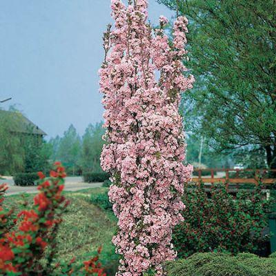 5ft Amanogawa Cherry Blossom Tree 9l Pot 70 99 Flowering Cherry Tree Garden Shrubs Blossom Trees