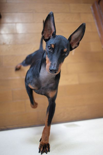 Small Dogs Who Are Easy To Groom Toy Manchester Terrier English Toy Terrier Man And Dog