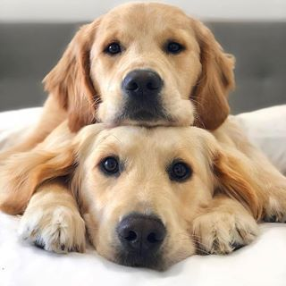 Lovin This Pillow Minipet Online Pet Boutique Is A Melbourne Based For Small Dogs Cats And Their Human Guardia Dogs Golden Retriever Cute Puppies Dogs