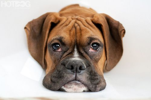 : Boxer Dogs, Sweet, Adorable Animals, Wiggle Butt Boxers, Dogs Boxer, Boxer Babies