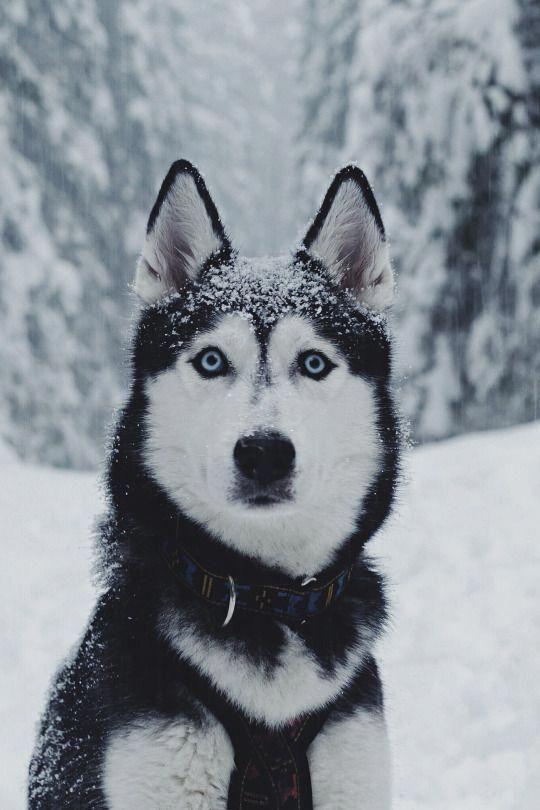 Playful Siberian Huskies Puppy Personality Siberianhuskydog