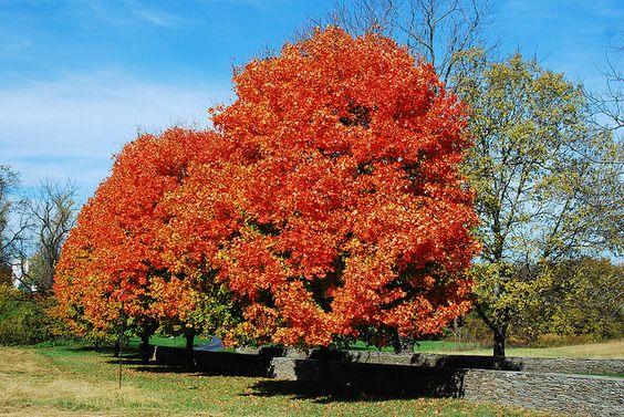 Fall tree in Loudoun County VA by Chimborazo, via Flickr.
