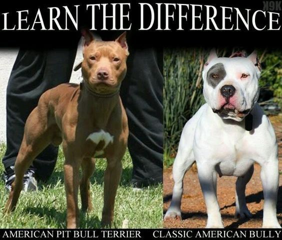 5 Popular Different Types Of Pitbulls Breeds With Pictures With