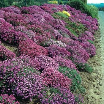 Pinterest the world s catalog of ideas for Low maintenance ground cover ideas