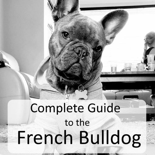 Complete Guide To The French Bulldog Everything You Could
