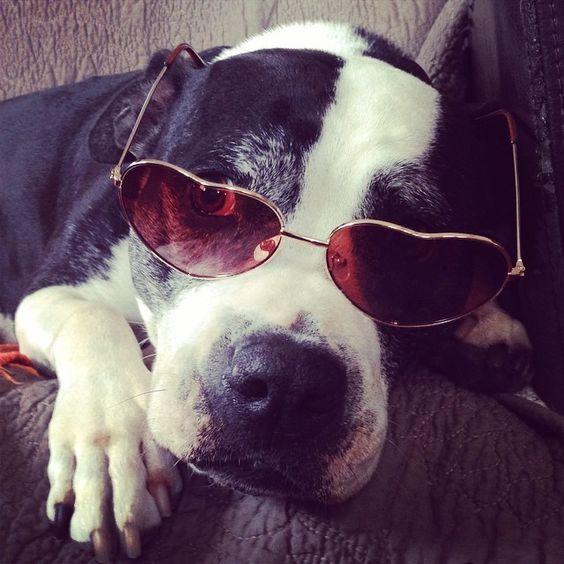 Mija taking a break between photo shoots. #pitbullsofinstagram #pitbull