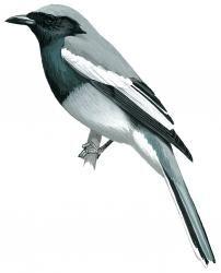 McGregor's Cuckoo-shrike (Coracina mcgregori)