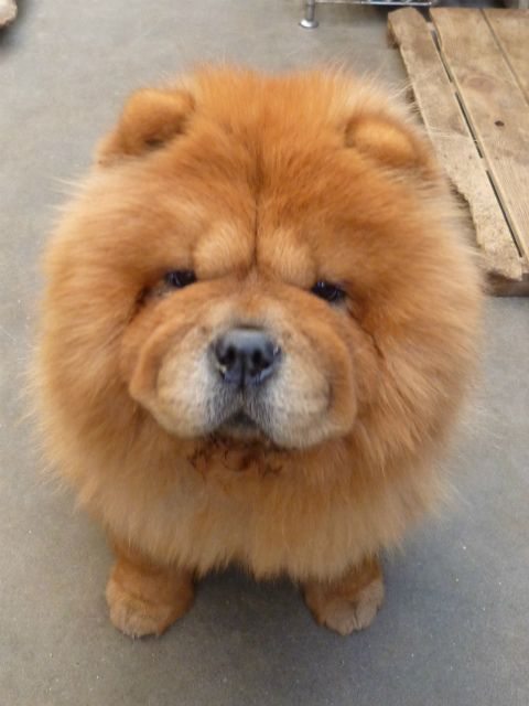 I M Going To Have Chows All My Life I Love Newfies But When I
