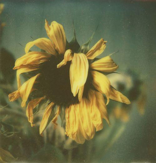 Resultado de imagem para yellow dying flower art