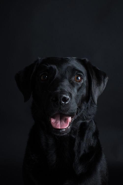 The Traits We All Admire About The Friendly Black Lab Puppy Labrador Feature Labrador Feature Labrador Retriever Black Labrador Puppy Black Labrador