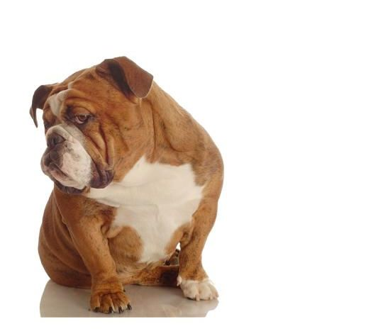 Westchester Ny Purebred Puppies Dogs Sale Breeder Training