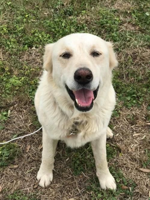 Dog For Adoption George A Golden Retriever Mix In New York Ny