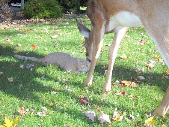 Todos os dias um cervo visita o seu amigo gatinho   Ronronar
