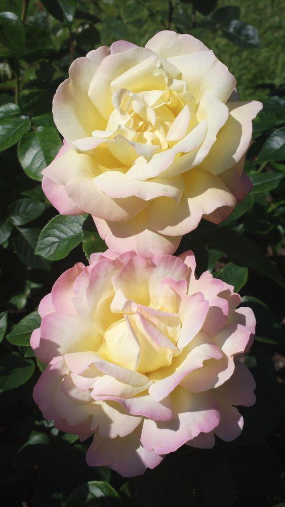 'Peace' | Hybrid Tea Rose. Francis Meilland (France, 1935) | Flickr - © KamalaKala: