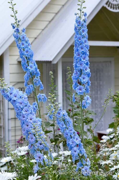 How I Grow Delphiniums With Ease Delphinium Flowers Flower Garden Plans Delphinium Plant
