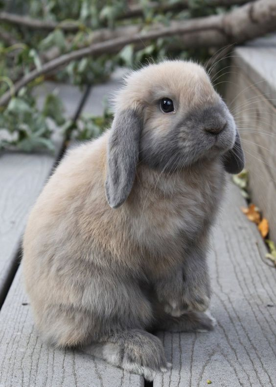 Grey Bunnies For Sale : bunnies, Holland, Rabbit, Information,Pictures,History, Health, Bunny, Pictures,, Animals,, Animals