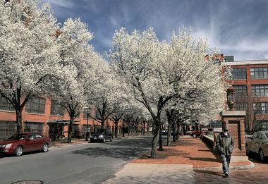 Trees blossom along Plum St. in Syracuse's Franklin Square by Bridgewater Place.
