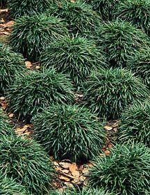 Mondo Grass for under trees where grass won't grow