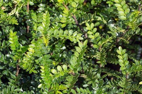 方 の の 山椒 木 育て
