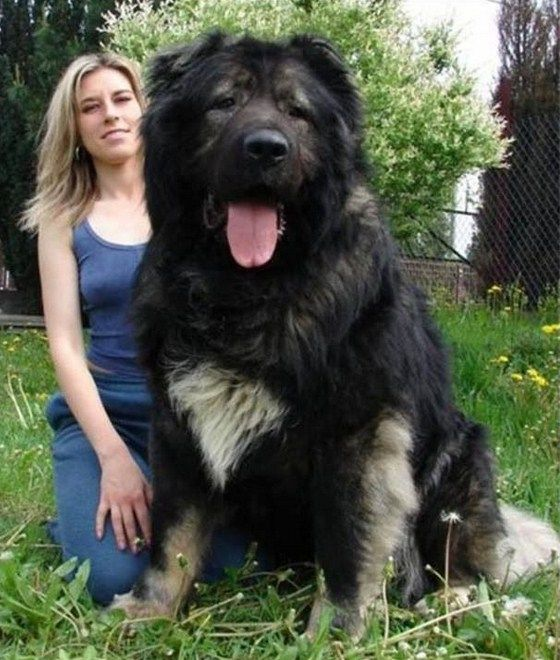 Dogs, Russian caucasian and Shepherd dogs on Pinterest