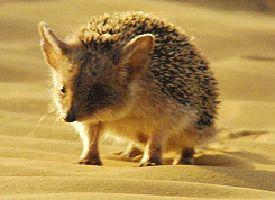 Hedgehog Animated GIF - Giphy