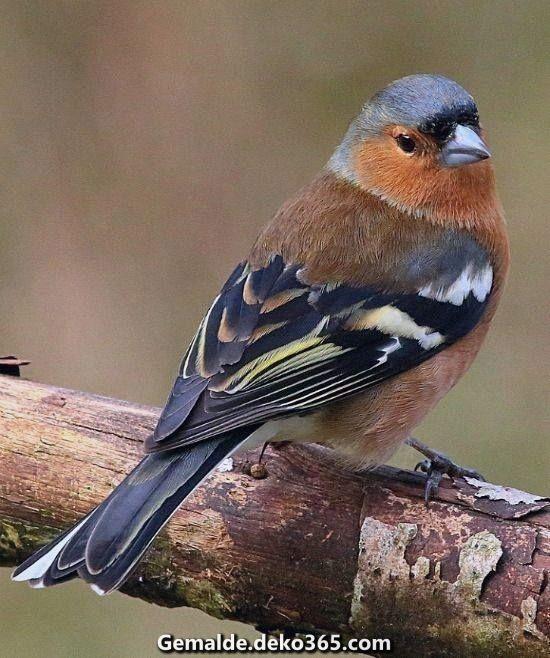 Spektakular Buchfink Lieblings Coeleba Woodprojects Buchfink Vogel Als Haustiere Vogel Fotos