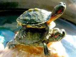 Keeping turtles as pets turtles Pinterest Turtles, Water Turtles ...