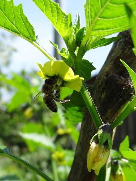 """Bergaubergine mit Biene:  Die Tomatillo (Physalis philadelphica Lam., Syn.: Physalis ixocarpa Brot. ex DC., Physalis aequata J. Jacq. ex Nees), zuweilen auch """"der Tomatillo"""", ist eine Pflanzenart in der Gattung der Blasenkirschen (Physalis) innerhalb der Familie der Nachtschattengewächse (Solanaceae). Sie ist vor allem in Mittelamerika wegen ihrer als Gemüse genutzten Früchte bekannt."""