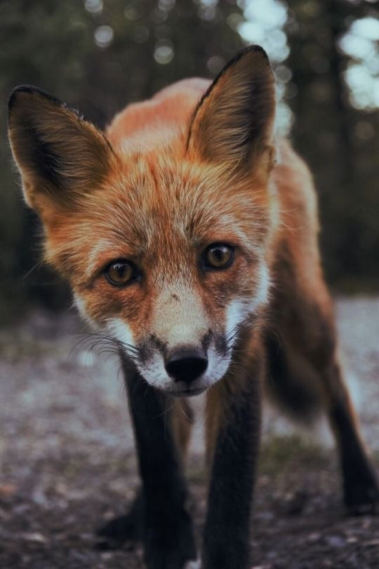 41 Tumblr Fox Images Fox Pictures Mammals