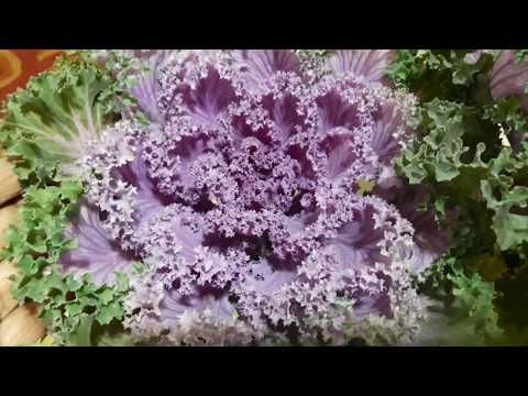 82 Best Beautiful Plant In Winter Kale Ornamental Cabbage Grow N Care Tips Hindi Urdu Youtube In 2020 Ornamental Cabbage Plants Cabbage