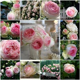"""Eden - a climbing rose I saw at the harvest fair a few years ago, and have never forgot.  Says here its also called """"Pierre de Ronsard"""".  For my """"dream home"""" some day."""