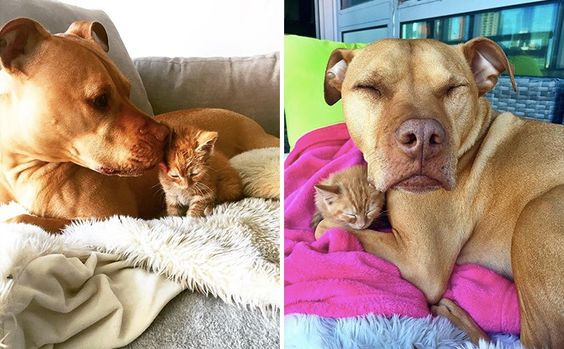 Dog Parents Surprise Their Cat-Loving Pittie With His Own Kitten Sister