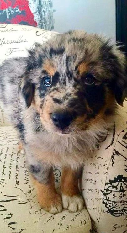 Pin By I Skate A Lot On Aussie Shepard In 2020 Animals Cute Dogs Cute Dogs And Puppies
