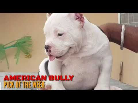 Top American Bully Import Line Pick Of The Week American Bully