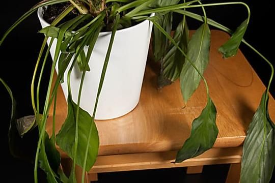 What Causes Peace Lily Leaves To Turn Yellow Or Brown In 2020 Peace Lily Plant Plant Care Houseplant Plants