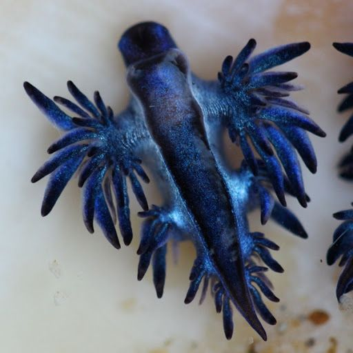 Blue Sea Slug