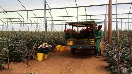 Roses on small truck in greenhouse