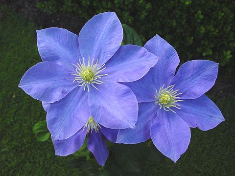 web130a.jpg (JPEG Image, 480 × 360 pixels)   Blue Flowers ...