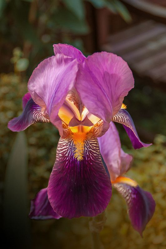 Iris Iris Flowers Photography Garten