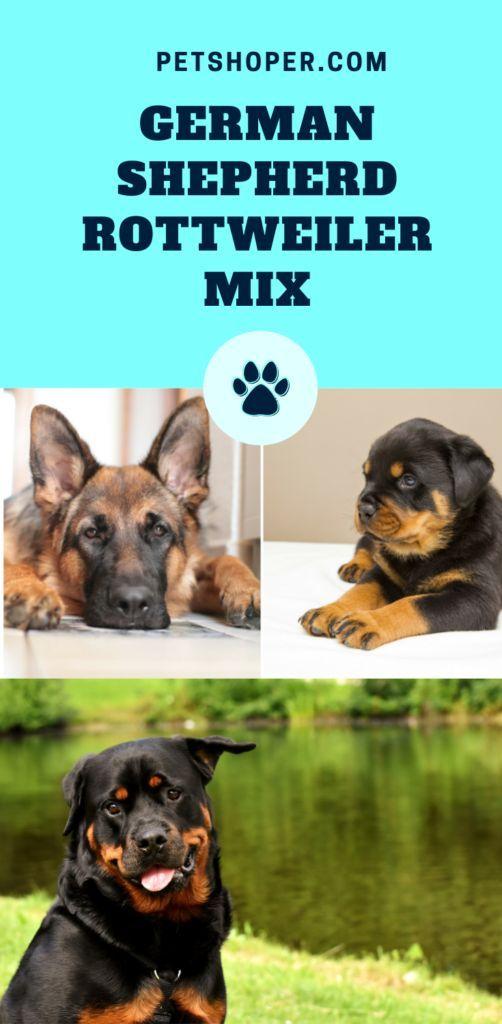German Shepherd Rottweiler Mix Shottie Rottie Shepherd