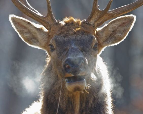 An Elk's Breath On A Cold Day