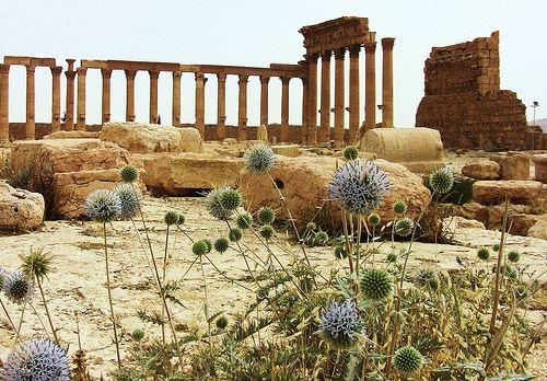 SYRIEN - Palmyra /Tadmor, Säulen im Bel-Tempel mit Disteln