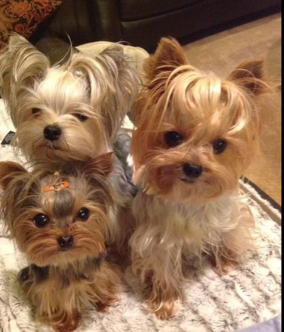 Tap image for more adorable puppies like these Yorkies! #YorkshireTerrier
