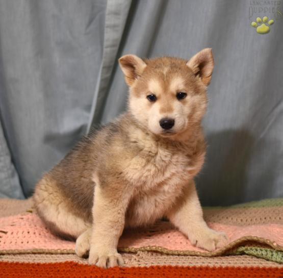 Miley German Shepherd Husky Puppy For Sale In Butler Oh