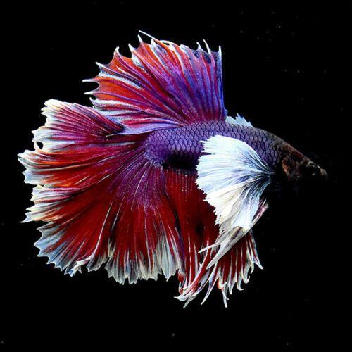 Live Betta Fish Ju22 Fancy Dumbo Red Lavender Hm Premium Rare Super Big Ears Ebay Betta fish wallpaper gif betta gif id