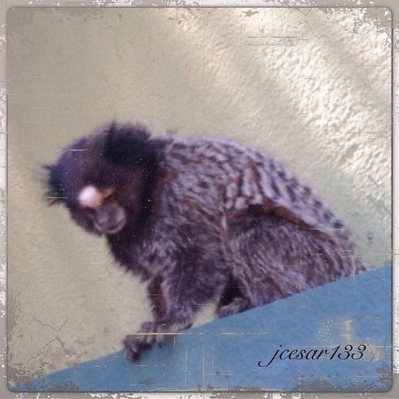 Macaco na cidade - Londrina