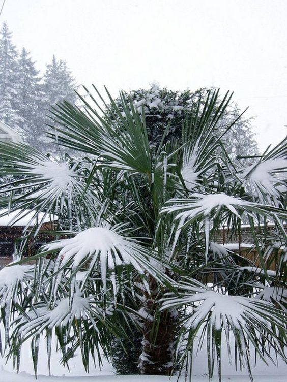 Die Hanfpalme Im Garten Oder Als Zimmerpflanze Beides Ist Moglich Winterharte Pflanzen Garten Palmen Garten Hanfpalme