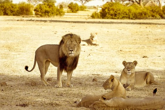 Four US airlines join the ban on hunting trophies after Cecil outcry | Inhabitat - Sustainable Design Innovation, Eco Architecture, Green Building