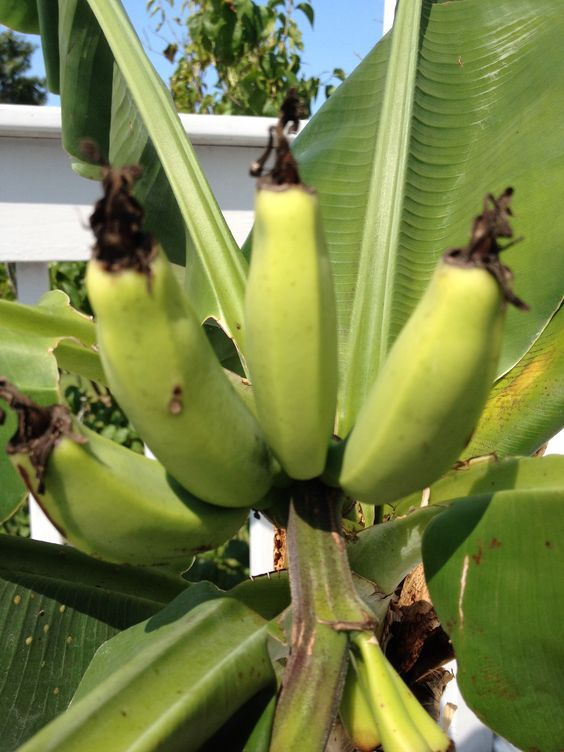 Musa Dwarf Cavendish Fruit