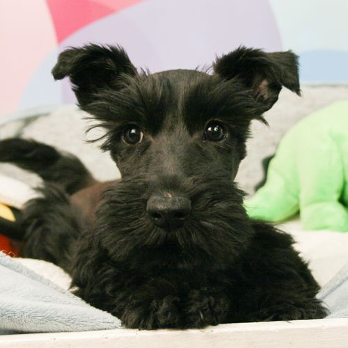 Scottish Terrier Puppies For Sale Scottish Terrier Puppy